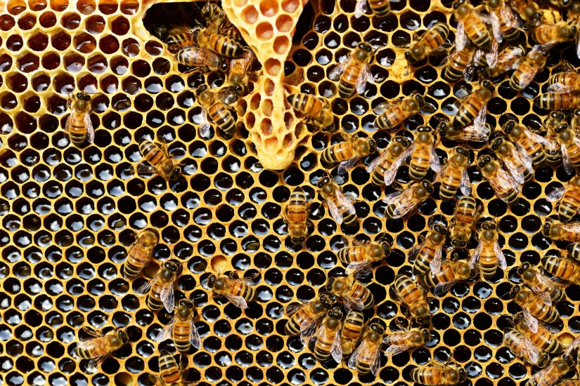 Is Honey from bees in the wallscovered?